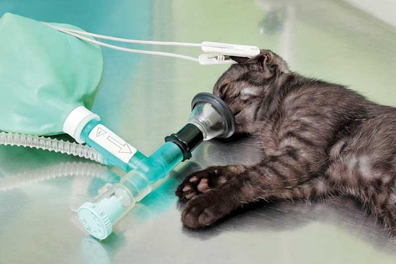 bigstock-Veterinary-Cat-Surgery-69642373